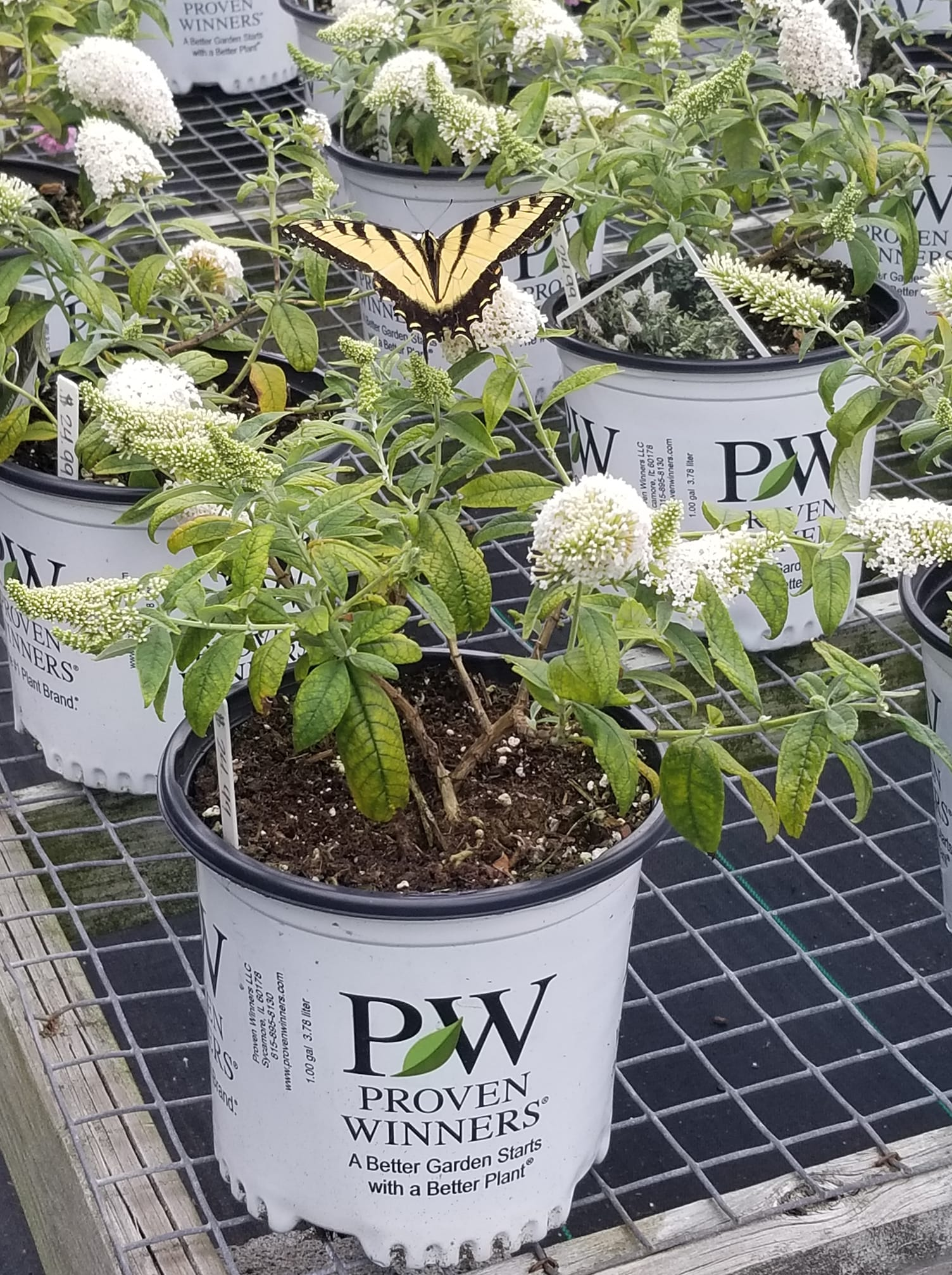 Yellowtail butterfly at Plantscape