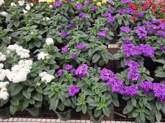 """Heliotrope is great in partial shade and goes 14-18"""""""