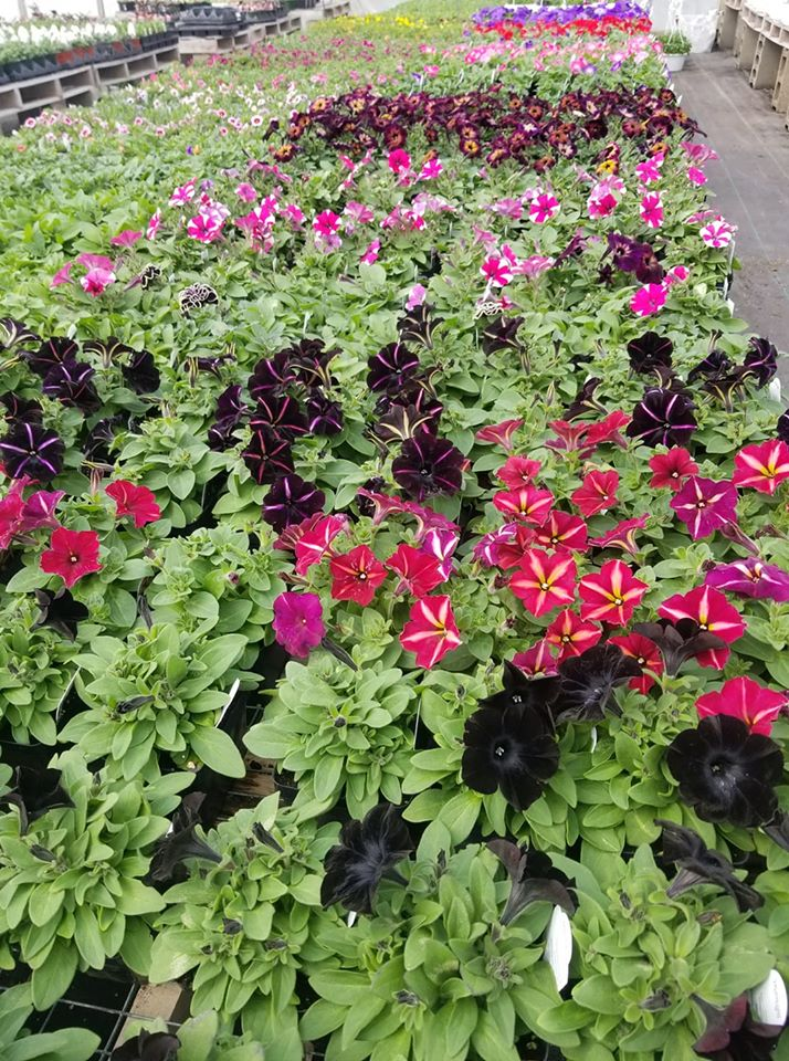 Over 90 colors of Petunias