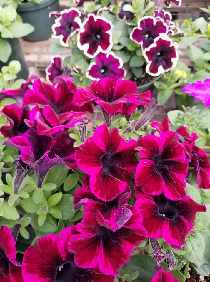 Plantscape petunias